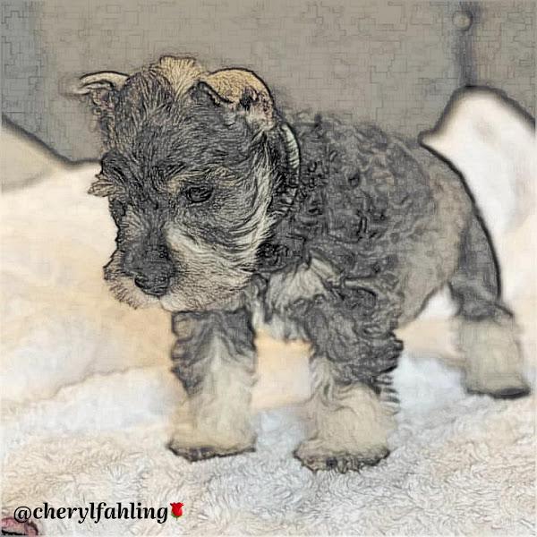 Miniature Schnauzer Puppy 🐶