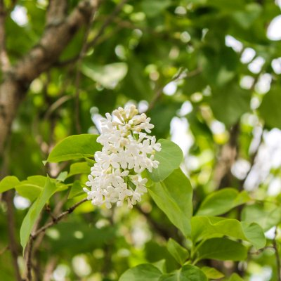White lilac // spring yard walk | On The Creek Blog