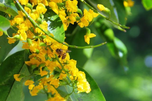 narra flowers