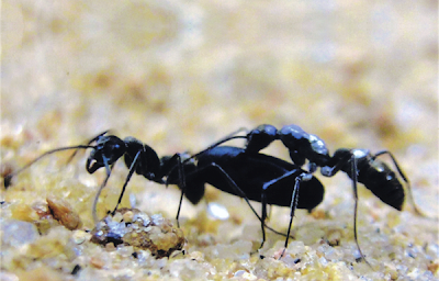 Diacamma indicum, ants, tandem running, ant behavior, ant colony relocation
