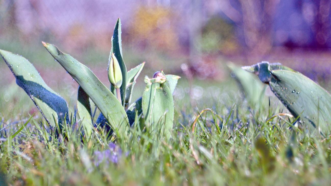 48€ Kombo — Gefaltete Tulpen