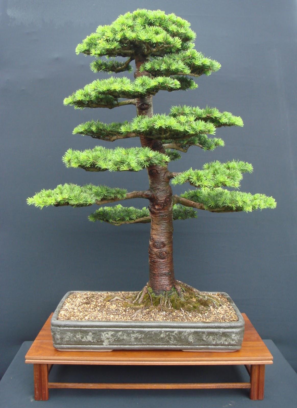 Trees Planet Cedrus Libani Cedar Of Lebanon