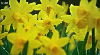 Gardeners World Tete a Tete daffodils