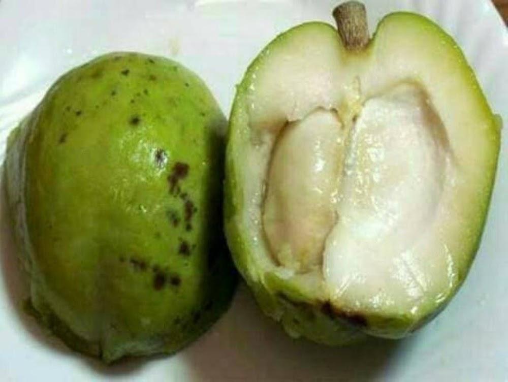 bibit buah sawo putih white sapote Banten