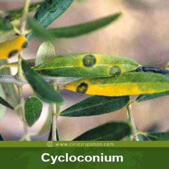 ciri ciri pohon cycloconium