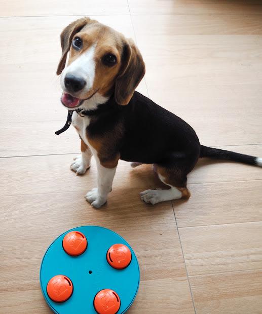 5 Beagle Puppy - Travel