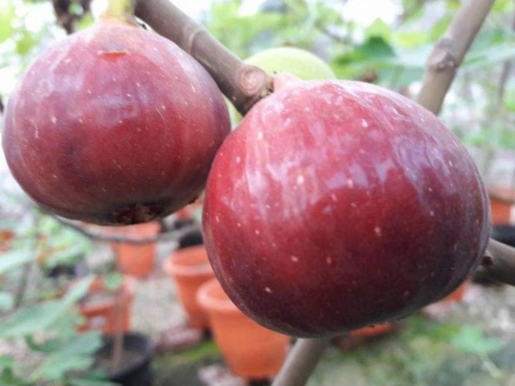 Bibit buah tin terlaris RED PALESTINE Bibit buah tin merah jumbo Banten