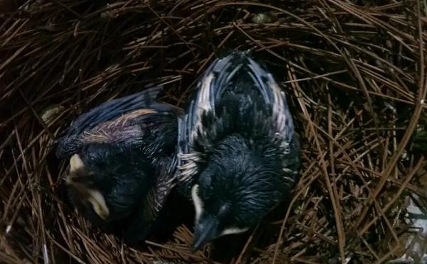 Anakan burung kacer