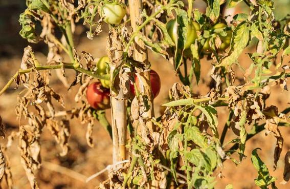 Προστασία φυτών από τη ζέστη και τον καύσωνα