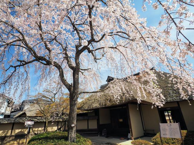 松代 武家屋敷 桜