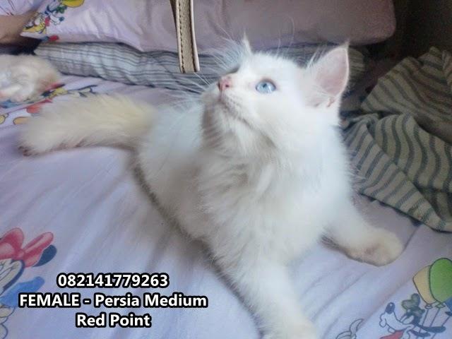 jual kucing warna putih mata biru