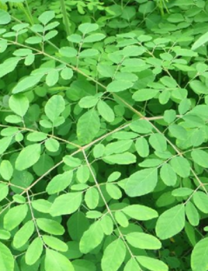 Moringa Leaves meaning in English, Hindi, Telugu, Marathi, Gujarati, Bengali, Punjabi, Kannada other names called as, translation