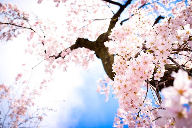 Cherry Blossom Wallpaper 10