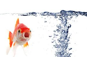 Japon balığı tek başına bakılır mı