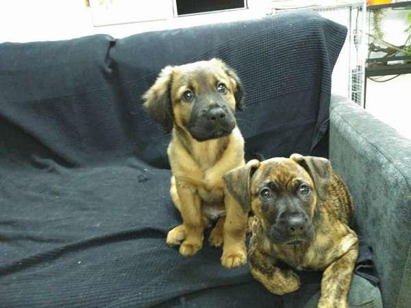 cachorros de talla grande