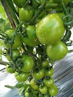 jual benih tomat, toko pertanian, tomat hibrida f1 corona, lmga agro