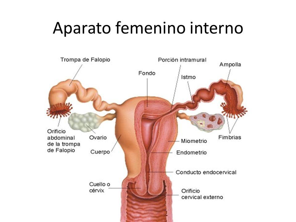 Revisando mi Primer Logosol: Aparato Genital Femenino | El Camino ...