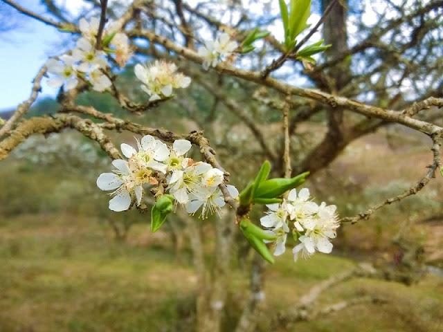 Moc Chau plateau in pristine white plum blossom season