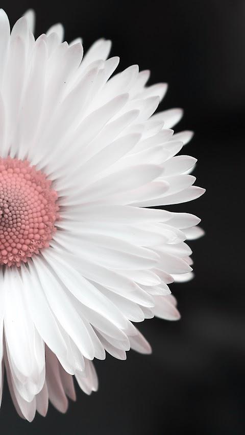Hình Nền Đẹp Điện Thoại Hoa Cúc Trắng
