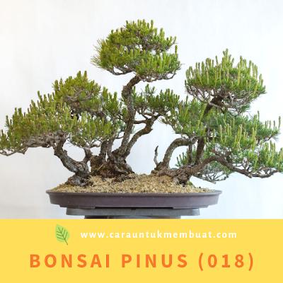 Bonsai Pinus (018)