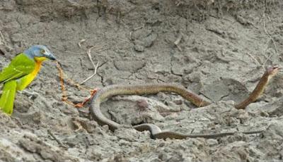 Burung makan ular hidup-hidup