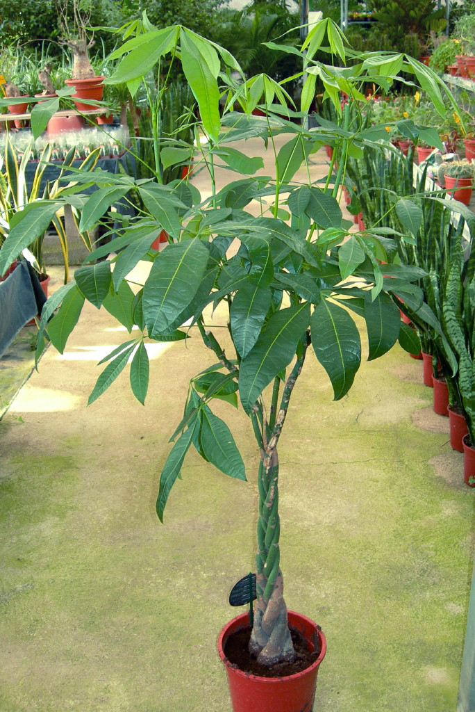 Viveros vangarden pachira aquatica for Vivero plantas tropicales