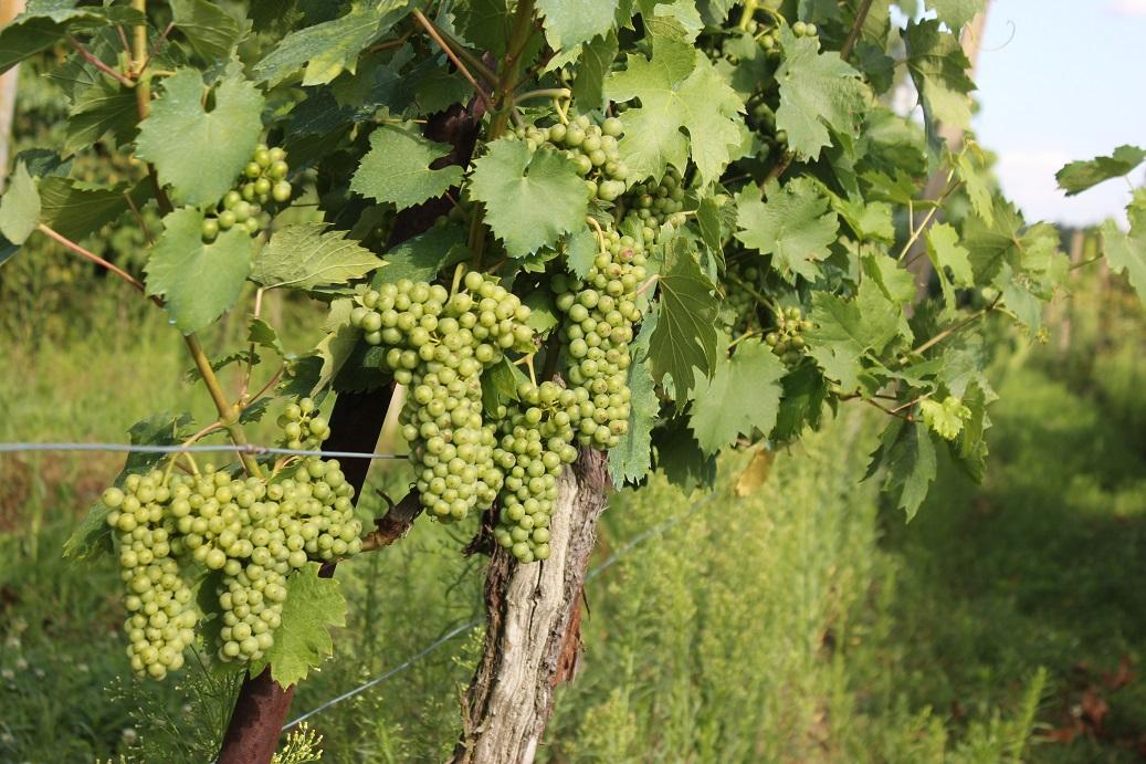 Hrozny vína na vinici Šobes v Podyjí