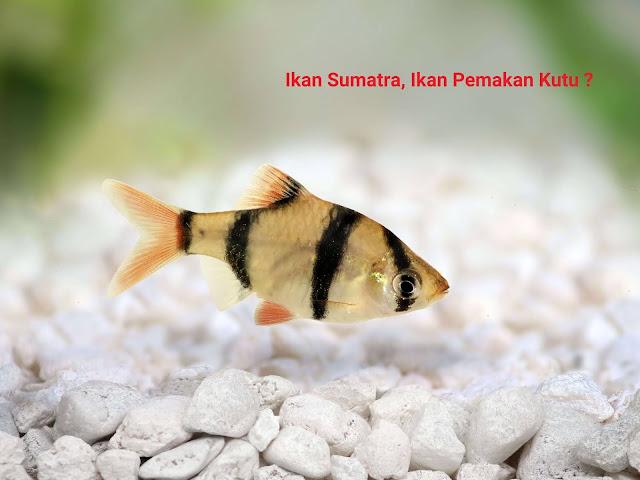 Jenis Ikan Sumatra Atau Tiger Barb Beserta Harganya