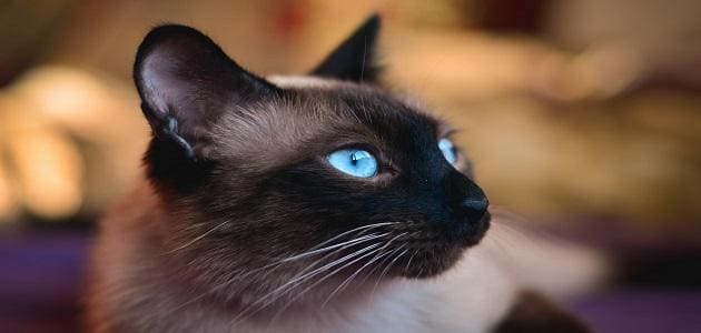 An in-depth look at Siamese cats