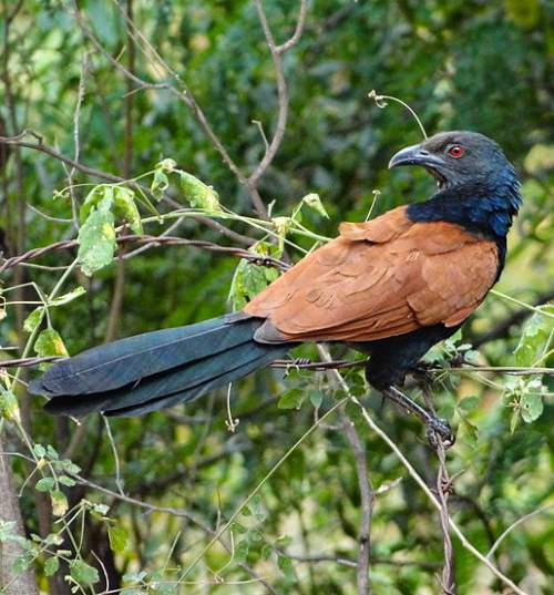 Birds of India - Photo of Greater coucal - Centropus sinensis