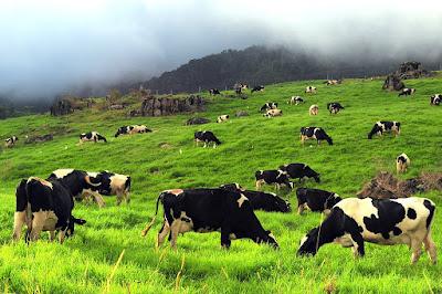 Dairy Farm, Kundasang Sabah