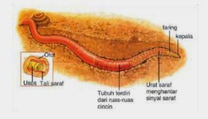 Alat dan sistem pernafasan pada cacing tanah