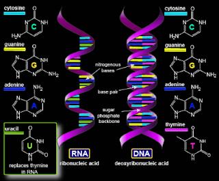Gambar Perbedaan RNA dan DNA