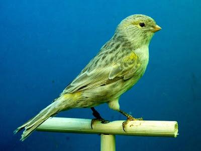 Mp3 Kenari, Kicauan Kenari, Suara Burung Kenari