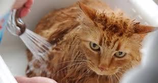 Apakah Bulu Kucing Yang Rontok Bisa Tumbuh Lagi ?