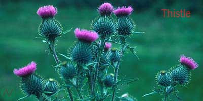 thistle flower, thistle