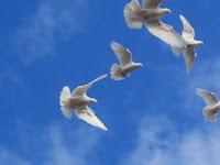 Beda Merpati Balap dan Biasa dari Gaya Terbangnya