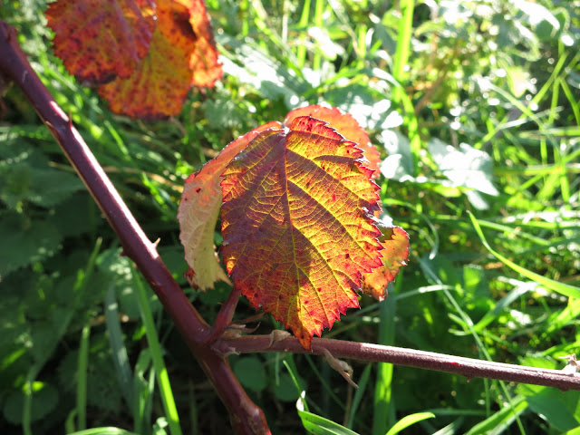 Sun shining through blackberry leaf - showing orange and red patterns.