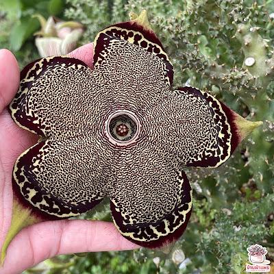 ต้นเก๋ง พรมเปอร์เซีย Edithcolea grandis