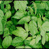 Peppermint For Nausea And Upset Stomach