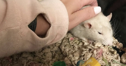 A Rat Update [Sad + Happy]