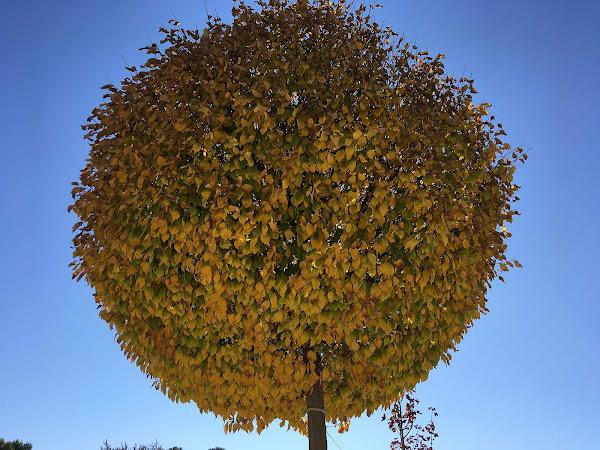 Olmo de bola en otoño. Yecla, noviembre, 2020