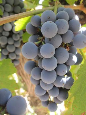 pruina uva