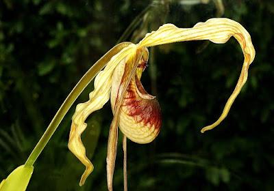 Phragmipedium caudatum care and culture