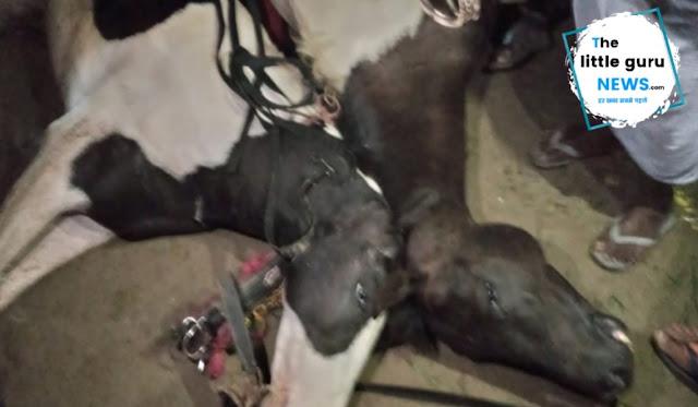 फेनहारा: बिजली के तार में सटने से बग्गी में आया करेंट, दो घोड़ों की मौके पर मौत, दूल्हा बाल-बाल बचा