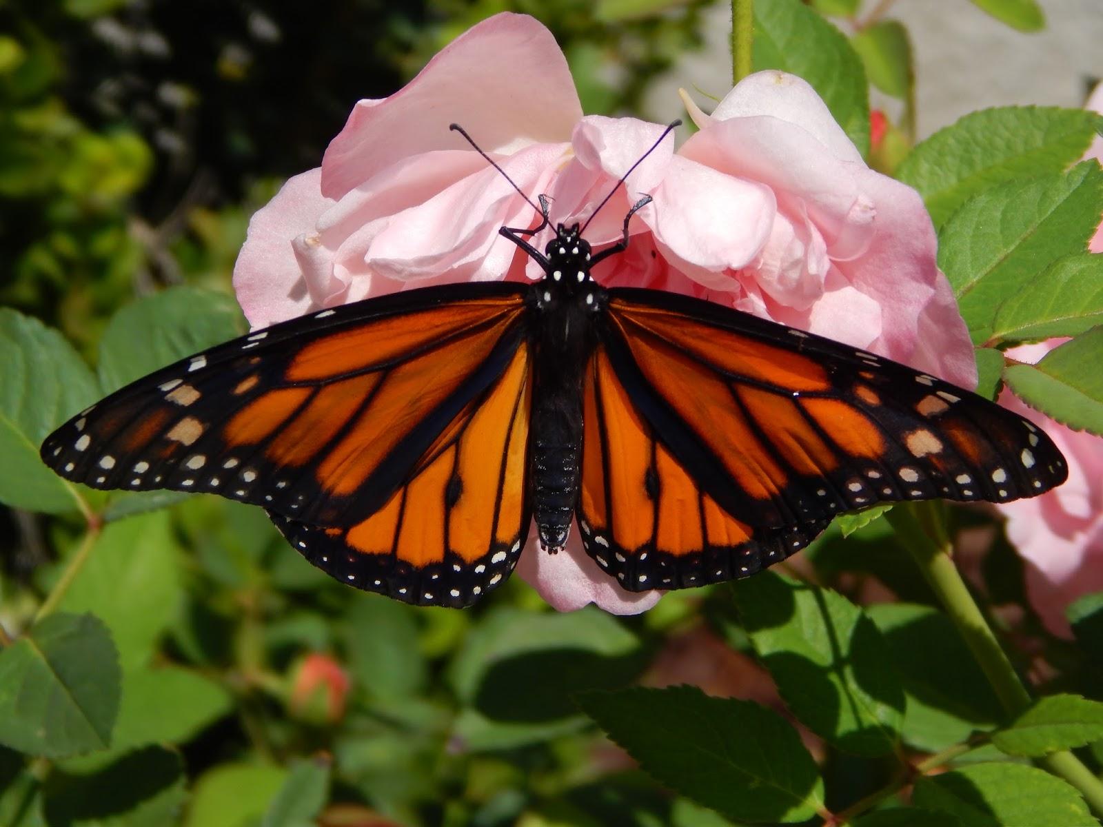 back yard beauty of a butterfly in menifee menifee 24 7