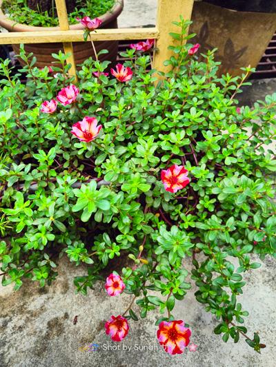 Bunga Rose Jepun Duna Merah Pink
