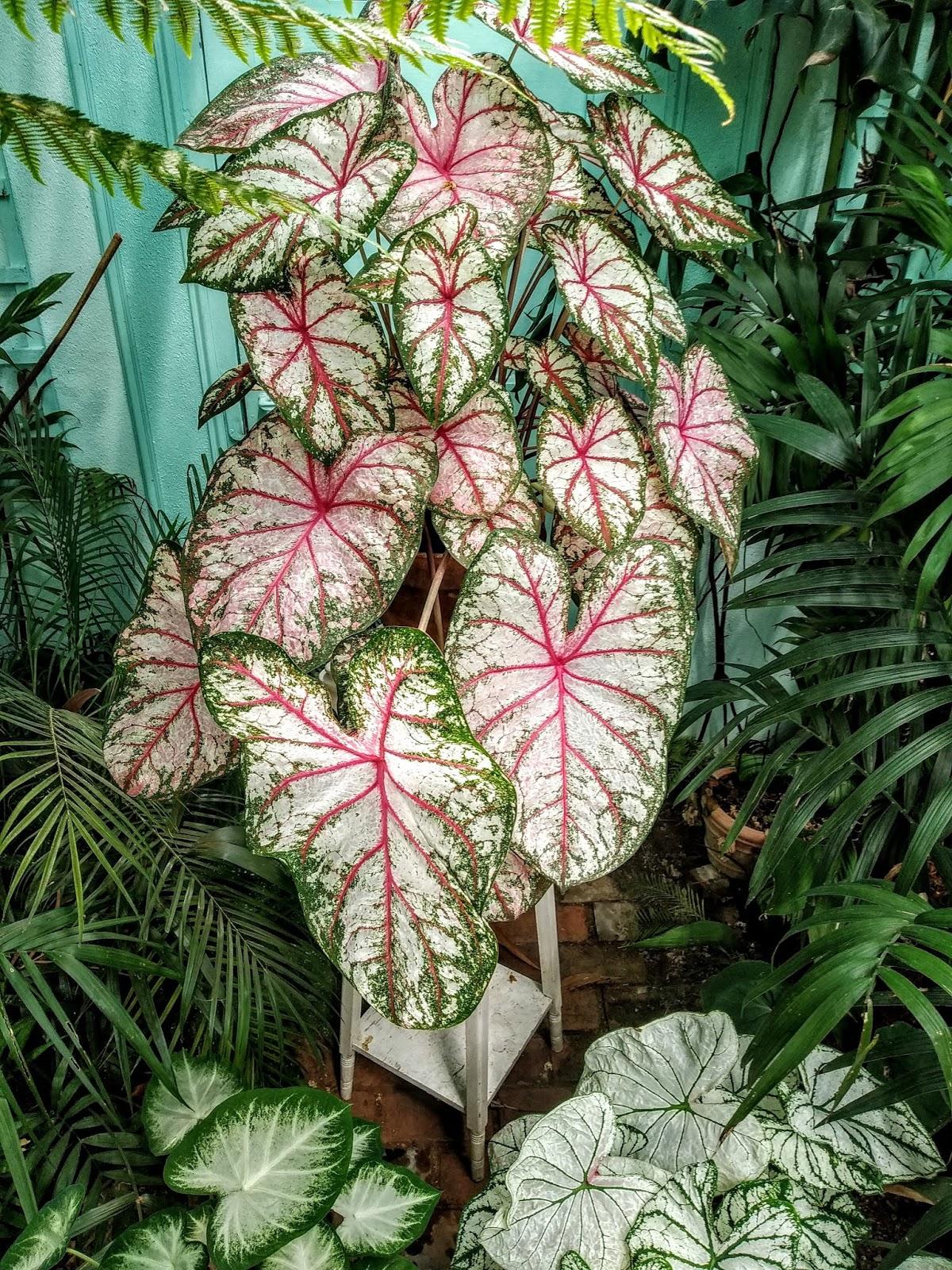 Caladium - le genre, espèces, hybrides et cultivars IMG_20190729_162049