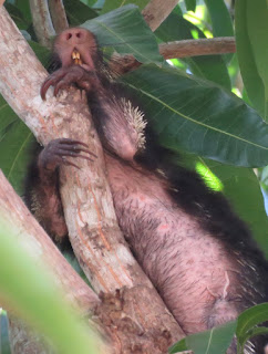 Sphiggurus mexicanus, Mexican Hairy Porcupine