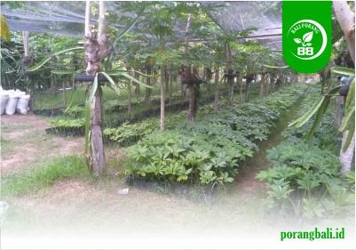 Bali Porang 88